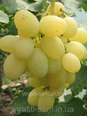 Grapes saplings Delight of _dealniya