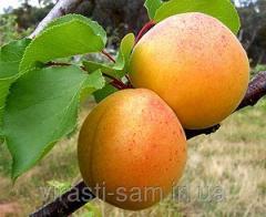 Саженцы абрикоса Київський красень