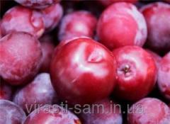 Plum saplings Anna Shpe