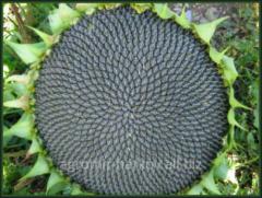 Sunflower hybrid Arakar of eur