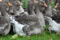 Nutreţuri bio pentru păsări agricole