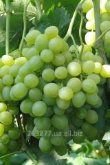 Саженцы винограда Агрус