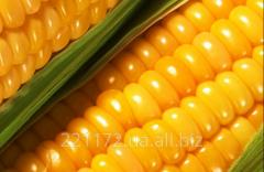 Кукуруза (зерно) от производителя
