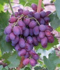 Саженцы винограда Аристократ