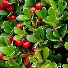 Ptarmigan-berry leaf