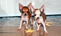 Elit soylu köpekler