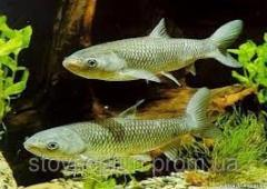 Grass carp of 200-300 grams