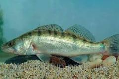 Pike perch of commodity 0,5-0,7 kg