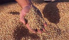 Wheat fodder. To buy wheat. Export. Parties from