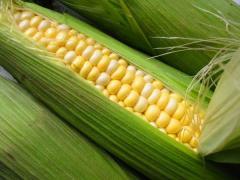 The corn is fodder. Export. To buy corn.