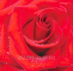"Photowall-paper ""A red rose"""