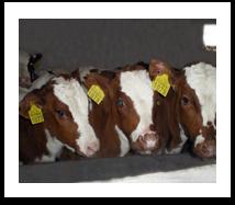 Horned cattle breeding