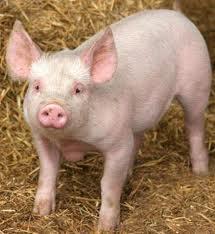 "Pigs (breed ""White Ukrainian"""