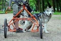Dogtrayk, trayk for riding spor