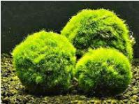 Кладофора - шарообразное украшение и естественный