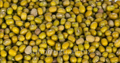 Lentil green