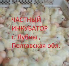 Цыплята-бройлеры КОББ 500