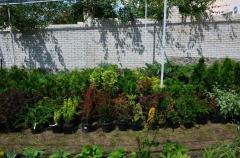 Декоративные хвойные растения