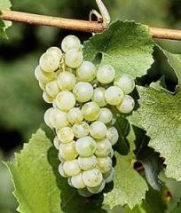 Виноград Шардоне (Chardonnay), саженец 15-25 см