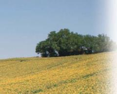 Насіння олійних культур