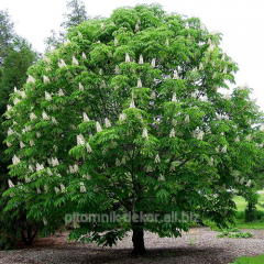Tree horse chestnut height 150-250
