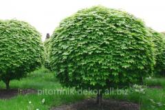Tree Maple acutifoliate height 200-250+