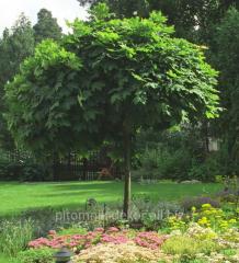 Tree Maple yavor height 250-300+