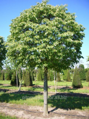 Linden small-leaved height 200-220+