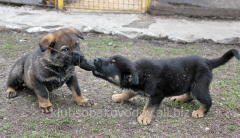 Puppies from Slovakia