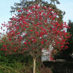 Дерево Рябина обыкновенная высота 250-300