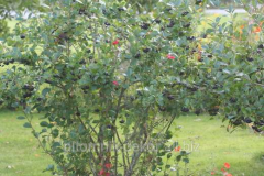 Mountain ash black-fruited Aronia trunk height to