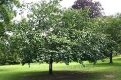 Дерево Шелковица Pendula высота ствола до прививки