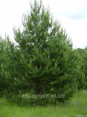 Сосна, елка: оптовая продажа