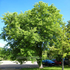 Tree silver maple height 300+