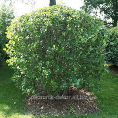 Bush black-fruited mountain ash the Chokeberry