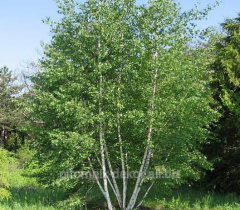 Birch warty Côme are N 350-400