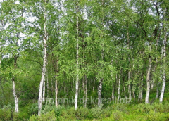 Birch warty Côme are N 410-500+