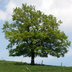Oak pedunculate Côme are N 350+