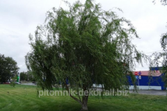 White weeping willow of Zolotistovolosistaya of