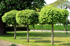 Maple acutifoliate Globosum of KOhm trunk height