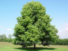 Linden small-leaved Côme height 300-350