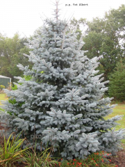 Colorado spruce Glauca lump height 50-70