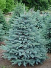 Colorado spruce Glauca lump height 150-170