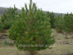 Crimean Pine lump height 110-130