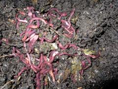 The rain (compost) Gold prospector worm from the