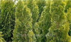 Thuja western Aureospicata lump height 100-120