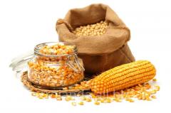 Common corn