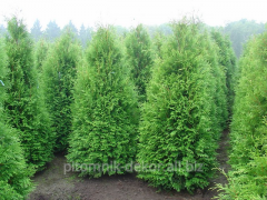 Thuja the western Brabant From 7,5 N 50-60