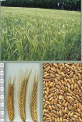 Пшеница с элеватора в житомирской обл. 6 кл. 1550 грн / т