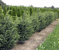 Common juniper Meyer From 3 N 35-50